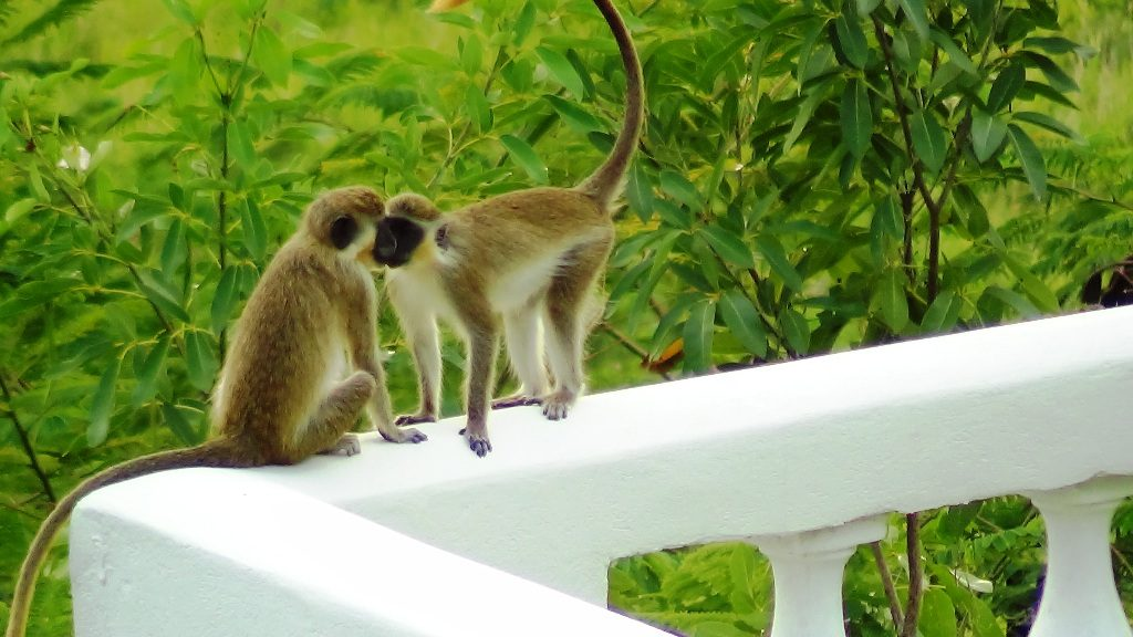 The Barbados Green Monkey - Enjoy Their Antics While on Holiday